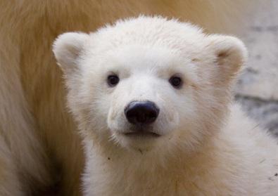 თეთრი დათვი